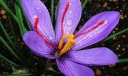 藏红花的功效,这种药物能够解郁安神