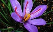 伊朗藏红花真假判断:教你如何识别真假藏红花